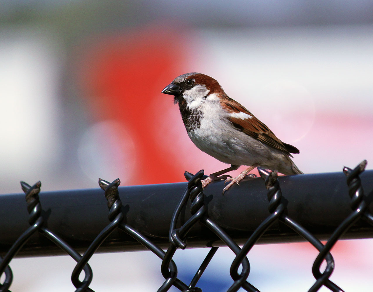 Sparrow at Private Airfield